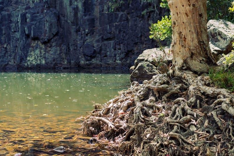 结在水池旁边的树根 免版税库存图片