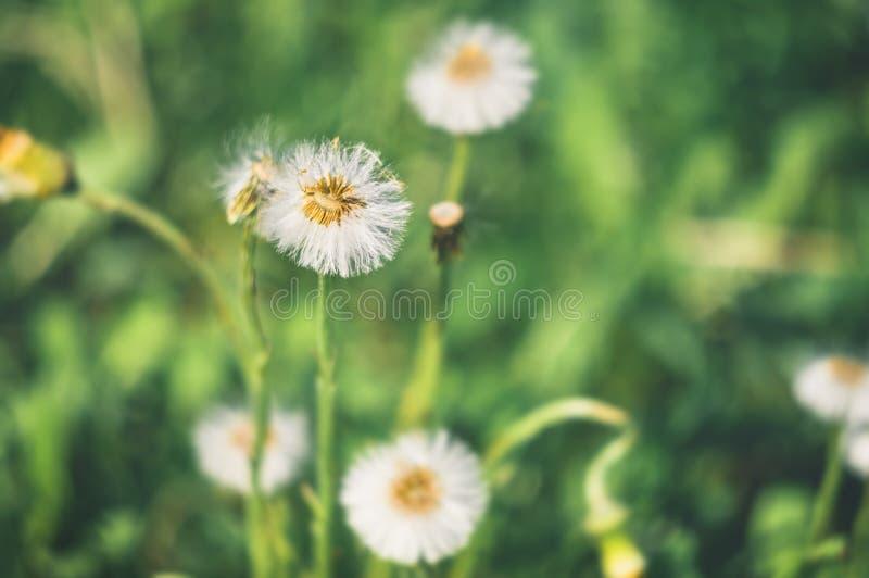 结束开花的过程款冬植物在一个晴朗的春日 免版税库存照片