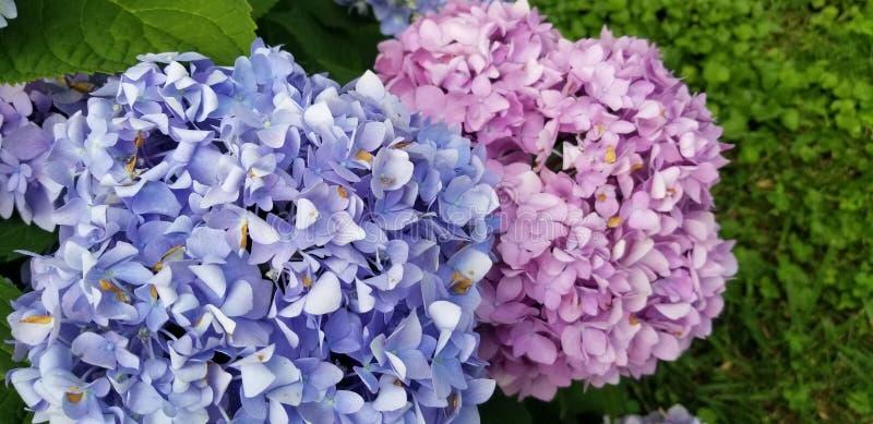 结束绽放紫色八仙花属蓝色八仙花属macrophylla田纳西 免版税库存照片