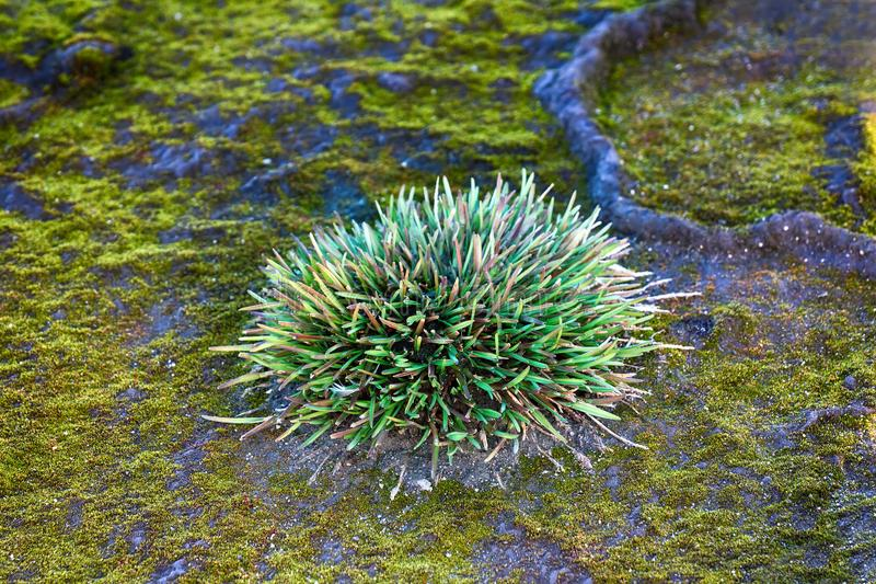 结构丛(polster植物) Phippsia algida 图库摄影