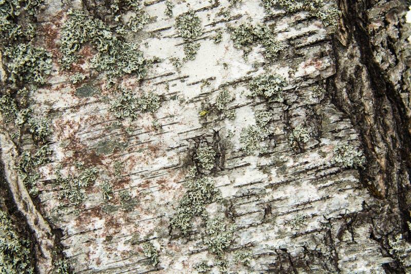 结构树吠声 参差不齐的表面 青苔和地衣 库存照片