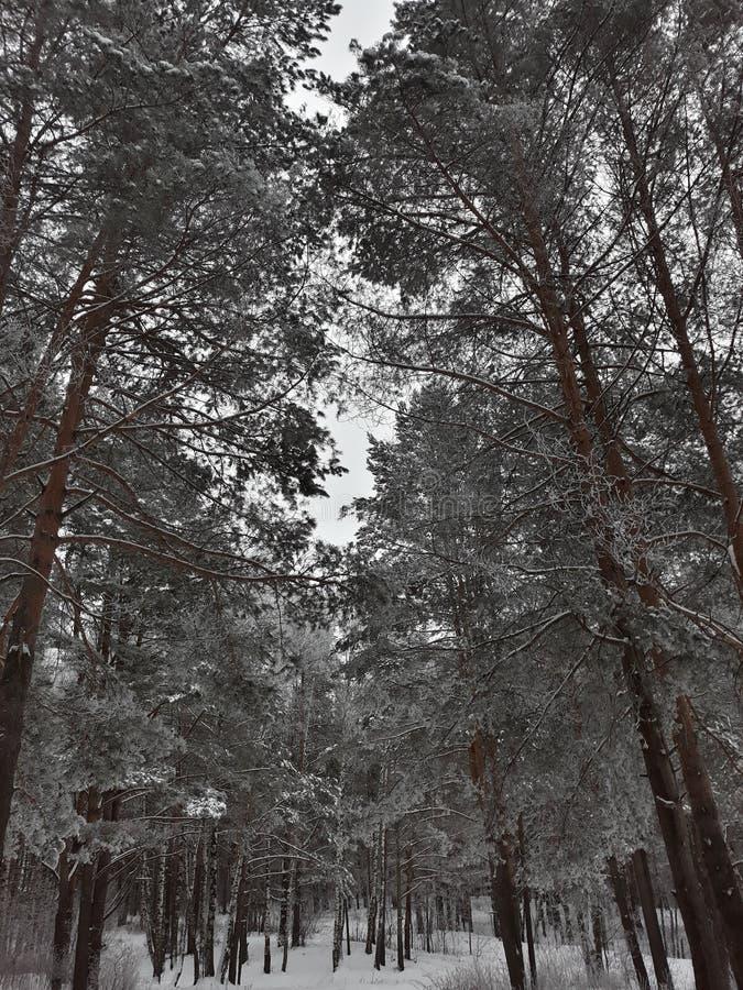结构树在冬天森林里 免版税库存图片