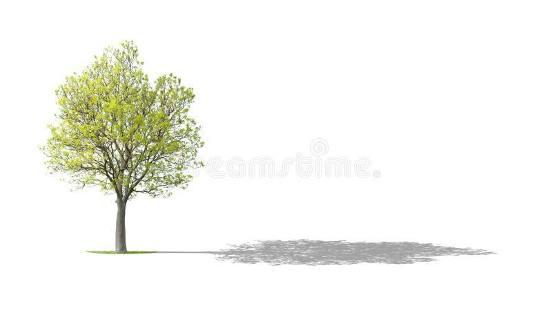 结构树核桃 向量例证