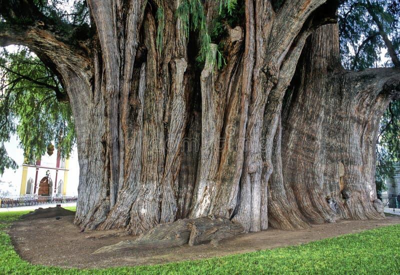 结构树tule 免版税库存照片