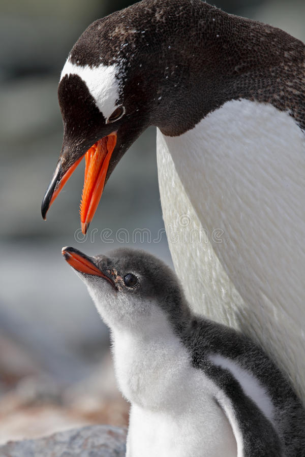 结转gentoo对年轻人的父项企鹅 库存图片