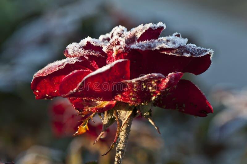 结霜玫瑰色 图库摄影