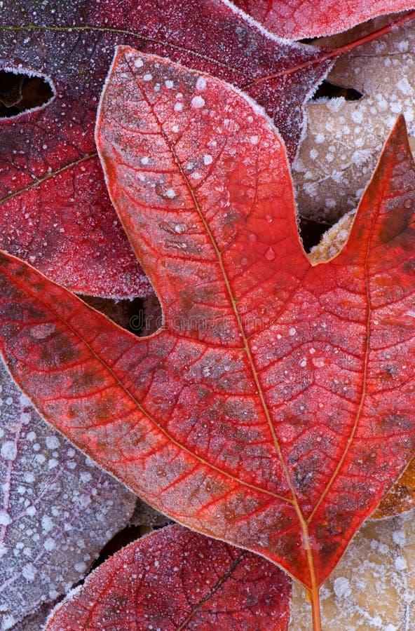 结霜的叶子结构树郁金香 免版税图库摄影