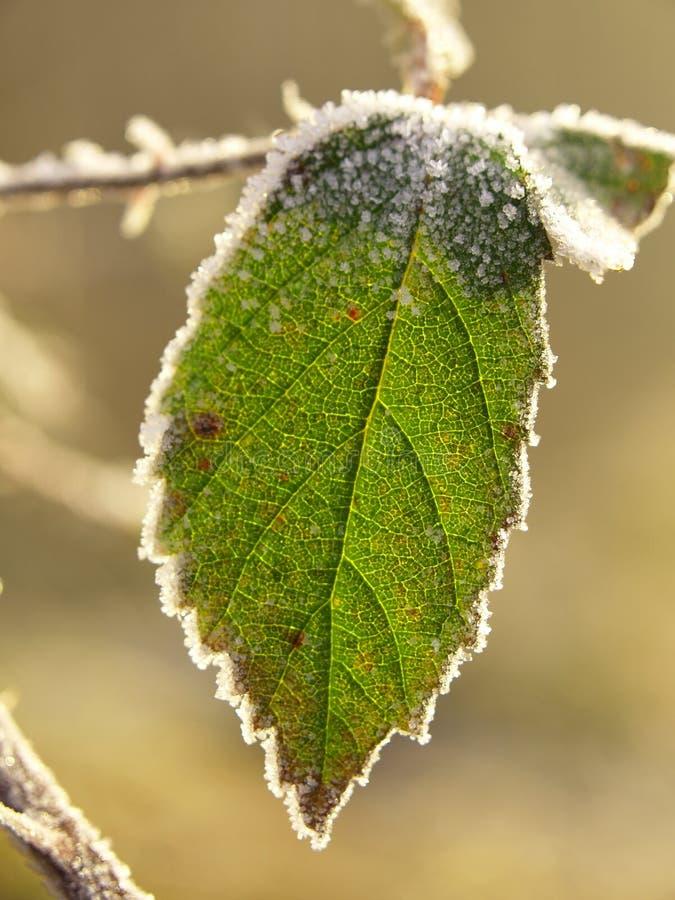 结霜的叶子 图库摄影