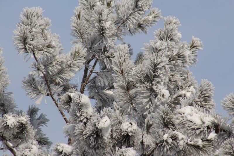 结霜的杉木 免版税库存图片