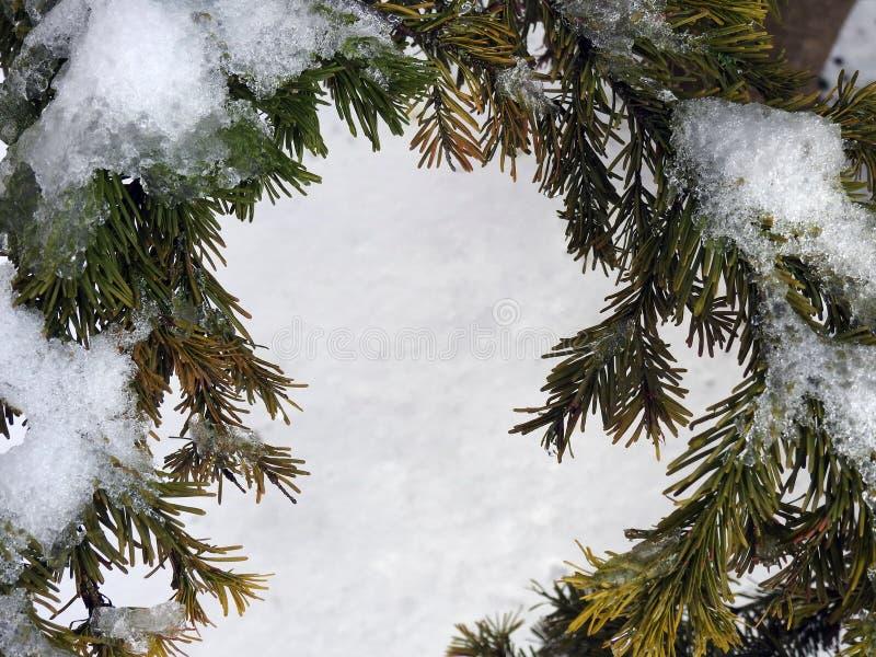 结霜的杉树在冬天,立陶宛 图库摄影
