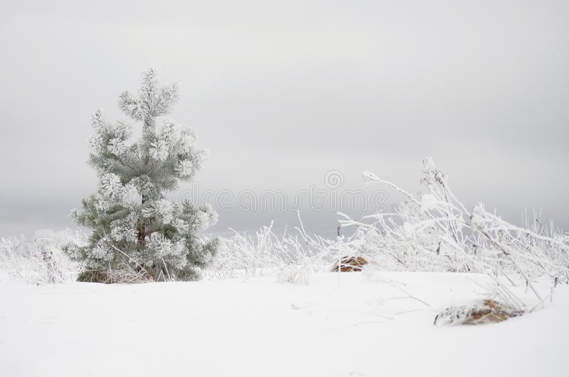 结霜的杉树 免版税库存照片