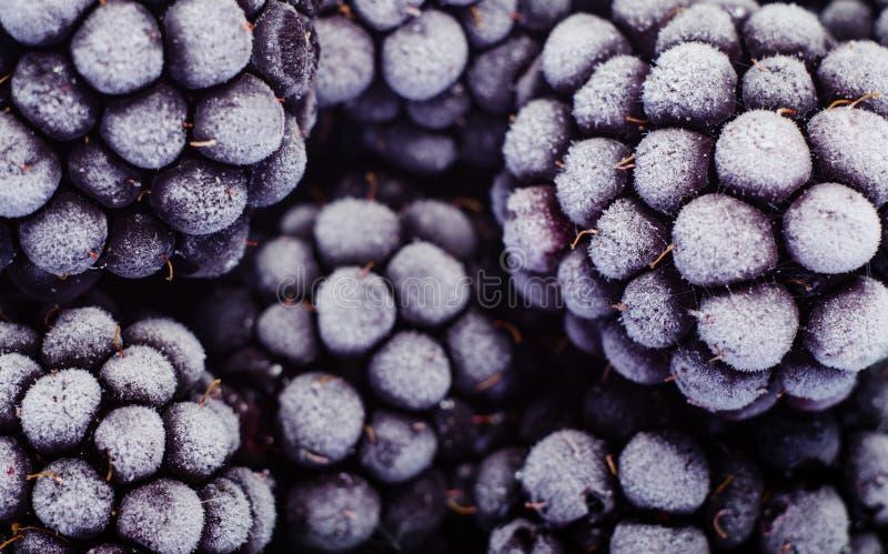 结霜的黑莓接近的照片  选择的莓果背景 免版税库存图片