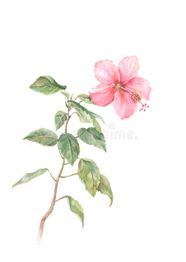 绘桃红色水彩的木槿 向量例证