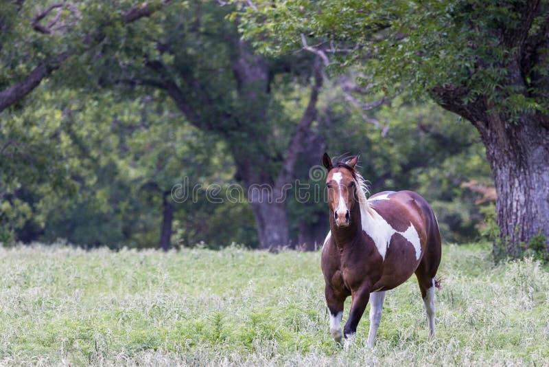 绘跑在牧场地的马 免版税库存照片