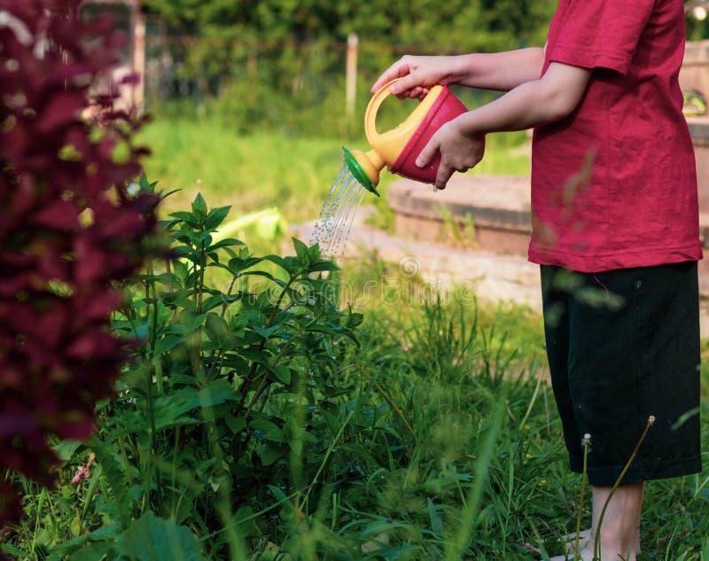 给从一把红黄色喷壶的孩子灌木喝水 照片显示孩子,没有面孔的手 孩子帮助妈妈  图库摄影