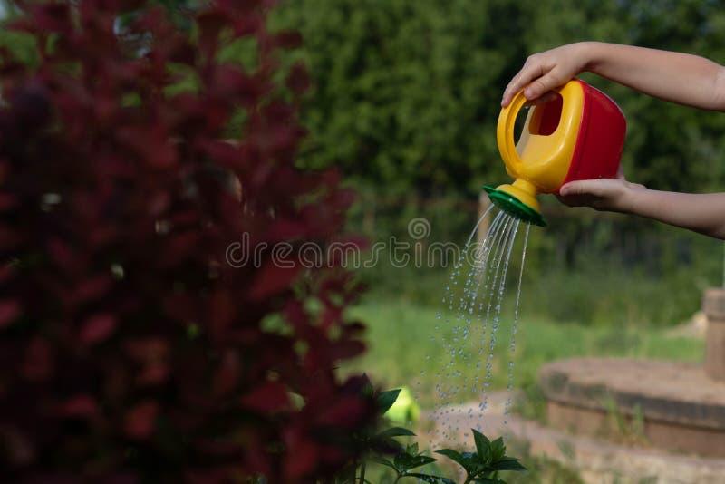 给从一把红黄色喷壶的孩子灌木喝水 照片显示孩子,没有面孔的手 孩子帮助妈妈  免版税库存图片
