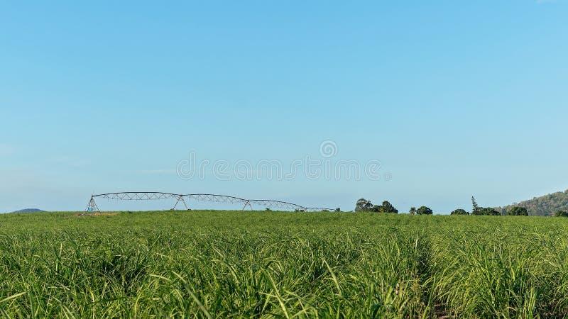 给年轻甘蔗喝水庄稼在种植园的 免版税库存照片