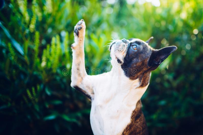 给我五-给五的波士顿狗 免版税图库摄影