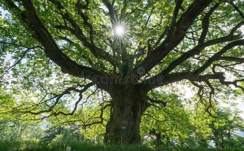 给树荫的庄严老橡木有通过偷看的太阳的春天草甸 免版税库存照片