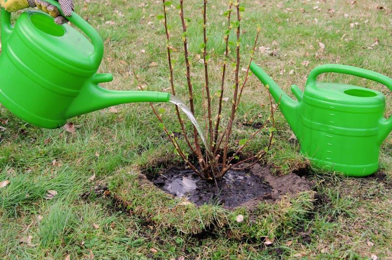 给灌木喝水 免版税库存图片
