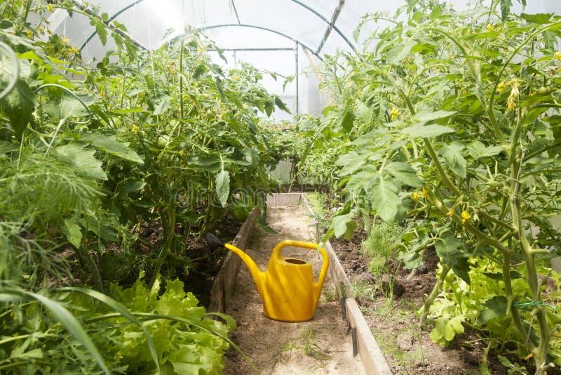 给西红柿的水 免版税图库摄影