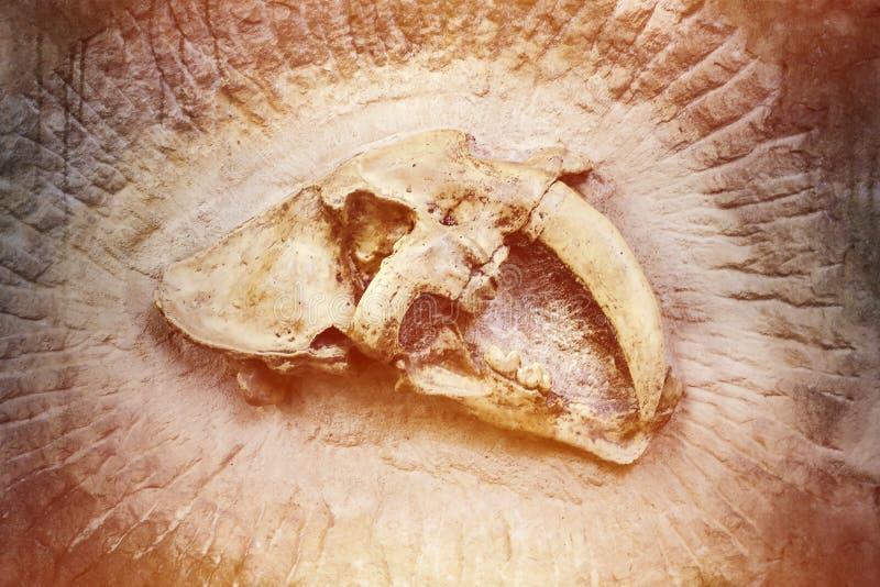 绝种剑齿虎的头骨 库存照片