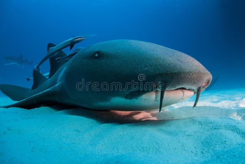 绞口鲨科巴哈马bimini 免版税图库摄影