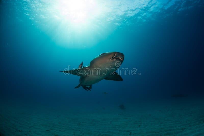 绞口鲨科巴哈马bimini 库存照片