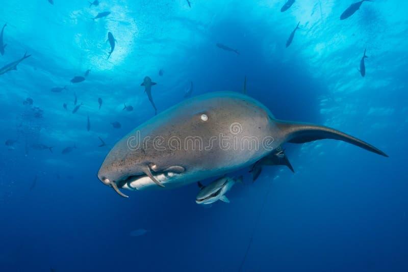 绞口鲨科巴哈马bimini 图库摄影