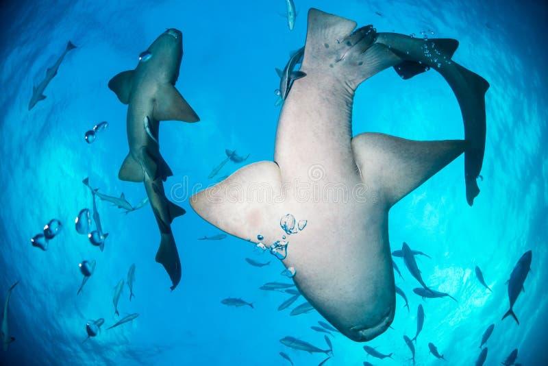 绞口鲨科巴哈马bimini 免版税库存图片