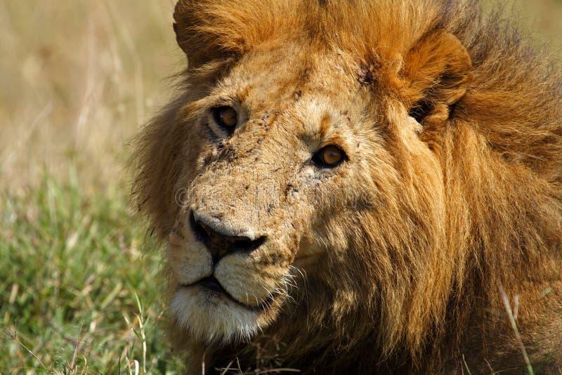 统治大狮子男性鬃毛母马马塞语 免版税库存图片