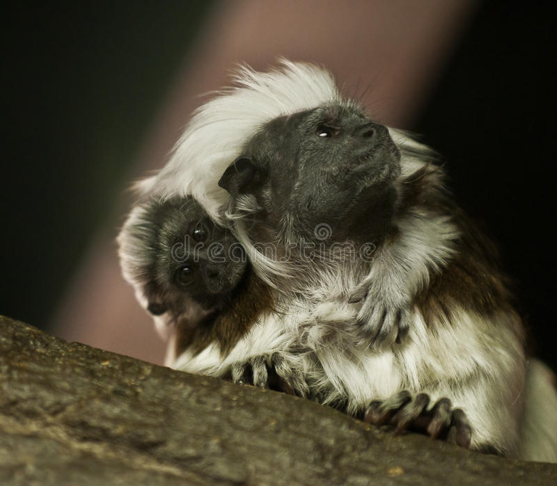 绢毛猴婴孩 库存图片