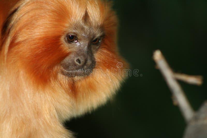 绢毛猴 库存照片