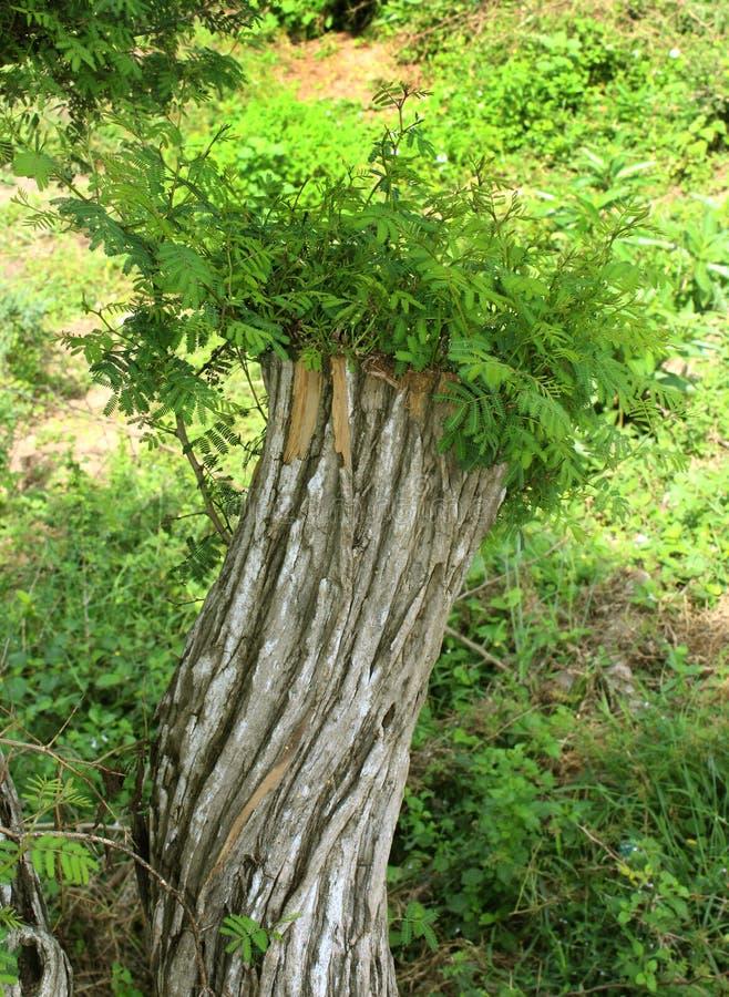 继续生长切好的树 图库摄影