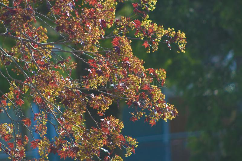 绯红色国王槭树在早期的春天 库存照片