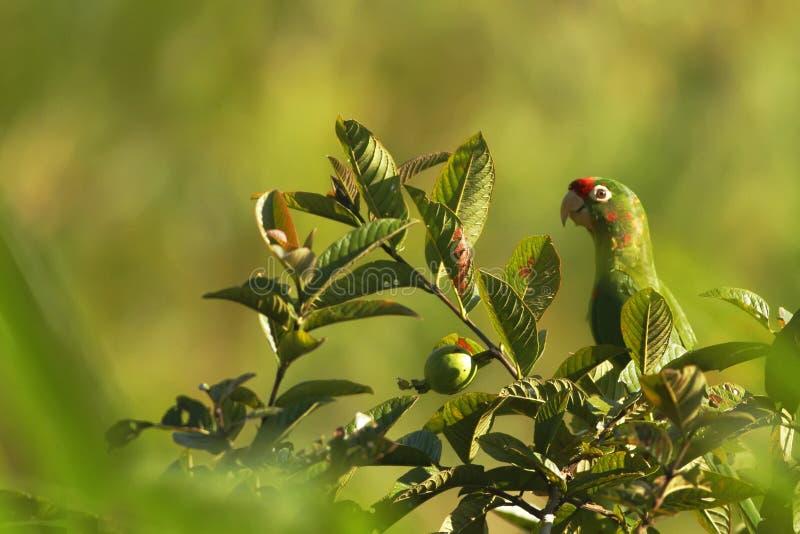 绯红色朝向的长尾小鹦鹉- Aratinga finschi坐树在热带山雨林在哥斯达黎加,大绿色鹦鹉里与 免版税图库摄影