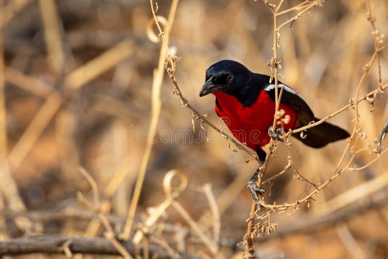 绯红色Breasted搜寻通过干燥棕色灌木的Shrike的特写镜头 免版税库存照片