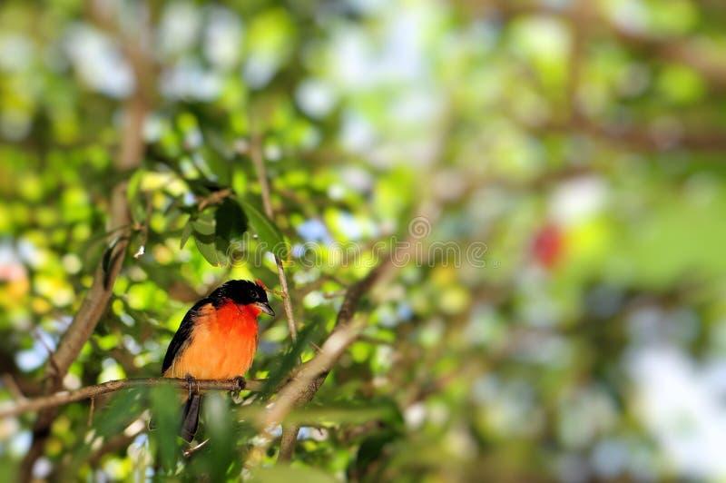 绯红色breasted雀科鸟 免版税图库摄影