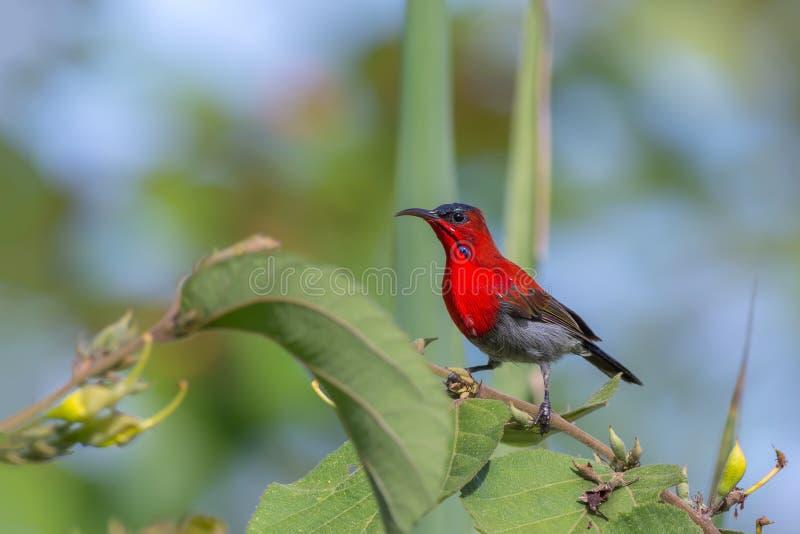 绯红色Sunbird或Aethopyga siparaja 图库摄影