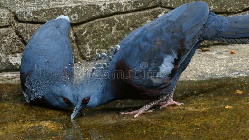 维多利亚加冠了鸽子在地面的饮料水 免版税库存图片