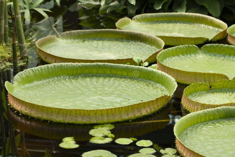 维多利亚amazonica是最大waterlily在世界上 漂浮在水特写镜头的维多利亚amazonica许多叶子 库存图片