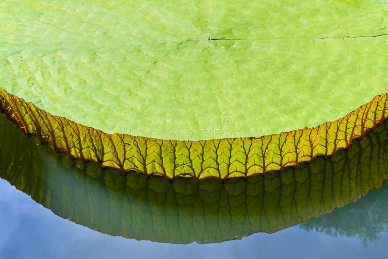 维多利亚Amazonica荷花特写镜头反射 库存照片
