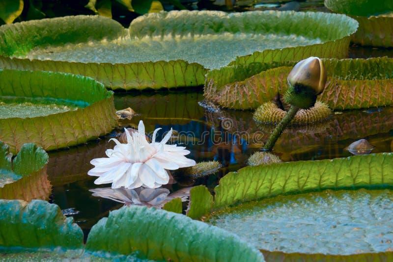 维多利亚amazonica,巨型百合在水中 库存图片