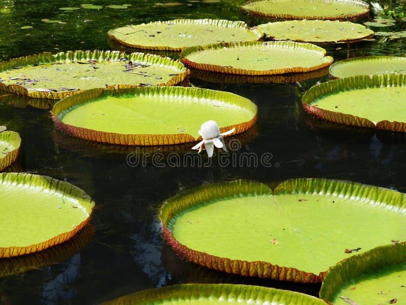 维多利亚amazonica,毛里求斯 免版税库存图片