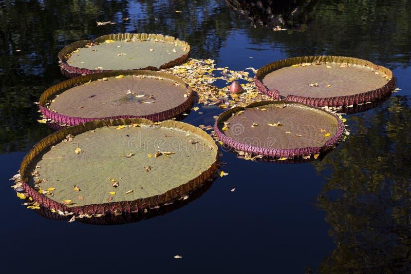 维多利亚Longwood杂种waterlily's巨大的通报叶子 免版税库存照片