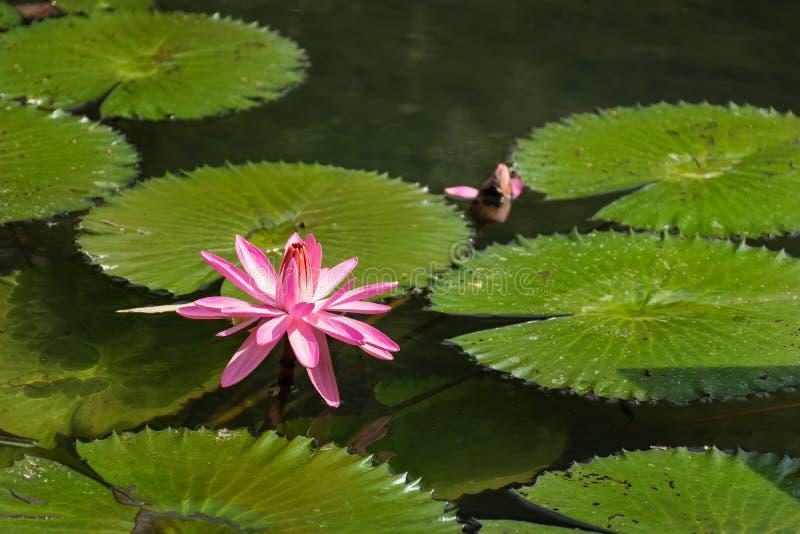 维多利亚Regia荷花在池塘在Piestany斯洛伐克 库存照片