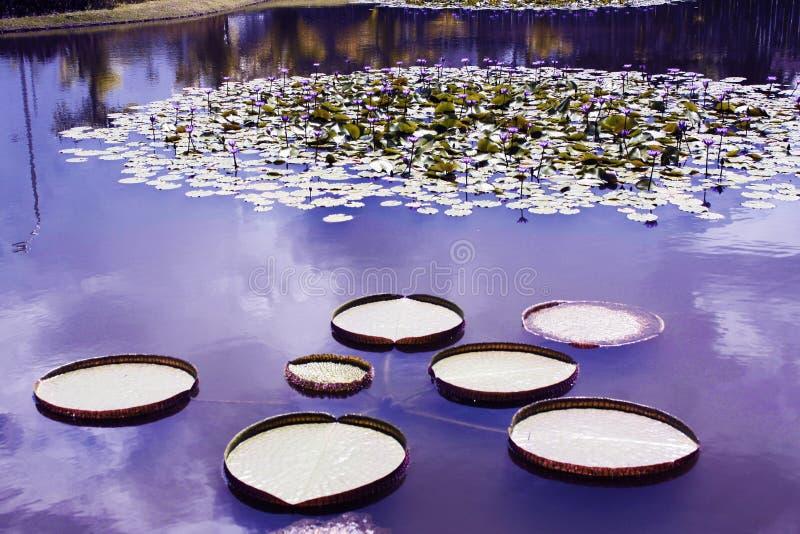 维多利亚Regia,亚马逊地区的水生植物 免版税库存图片