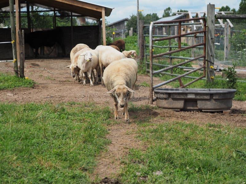 绵羊为在农场的漫步 免版税库存照片