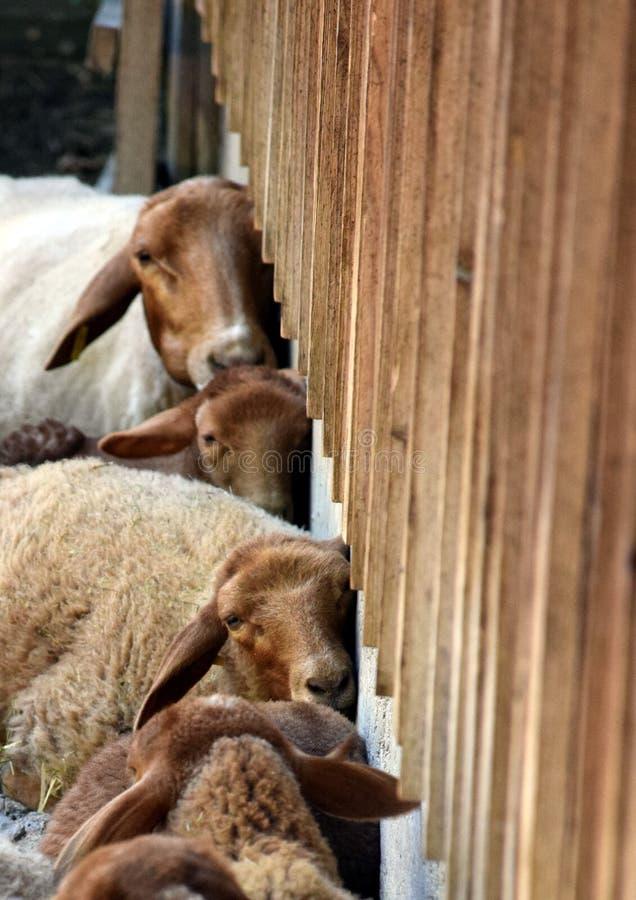 绵羊倾斜对议院墙壁 库存图片