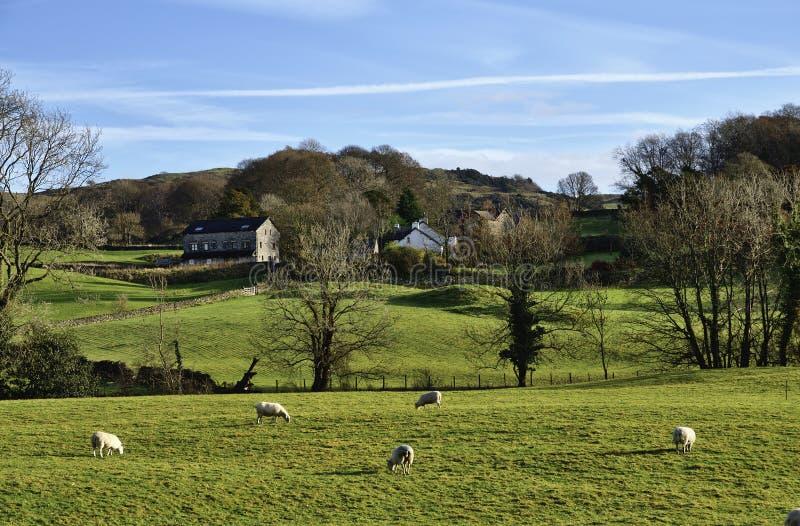 绵羊吃草在Winster谷的, Cumbria 免版税库存图片